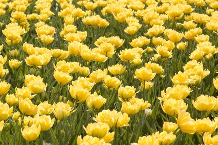 meadow with the bright spring tulips photo
