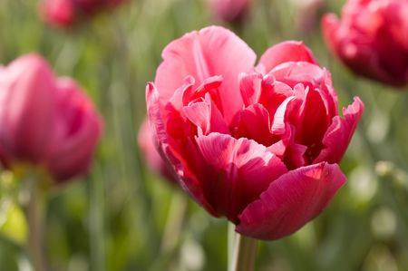red bright spring tulips Stock Photo - 2997531