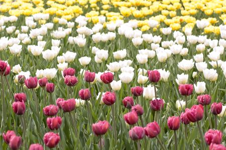 meadow with the motley bright spring tulips photo