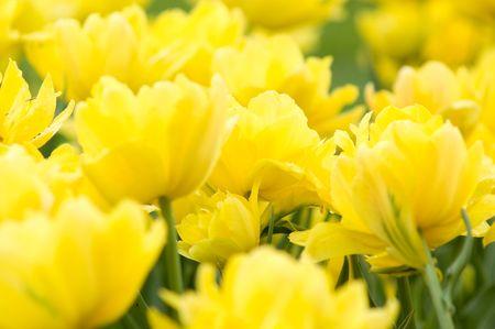 yellow bright spring tulips Stock Photo - 2997522