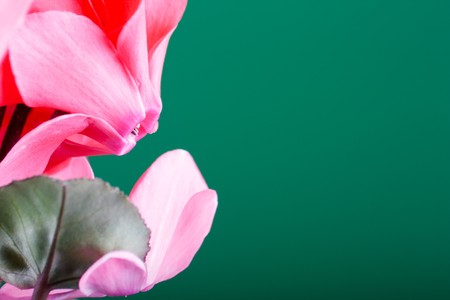 cyclamen Stock Photo - 4350378