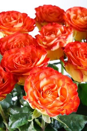rosas naranjas: Rosas naranjas  Foto de archivo