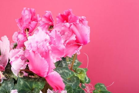cyclamen:  cyclamen Stock Photo
