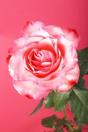 beautiful rose Stock Photo - 4580493