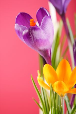 festal:  Spring holiday crocus flowers  Stock Photo