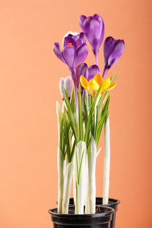 Spring holiday crocus flowers  photo