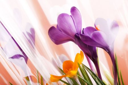 Spring holiday crocus flowers  Stock Photo