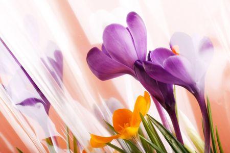 festal: Vacanze di primavera dei fiori di croco