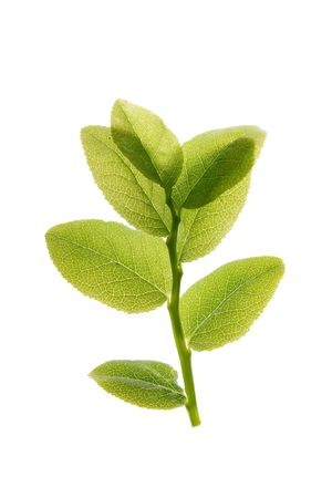neat: green leaf isolated on a white Stock Photo