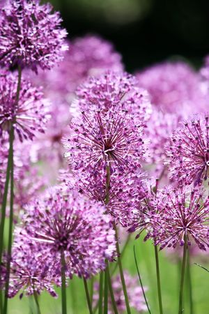 herbaceous border: Close up of the flowers of some Chives