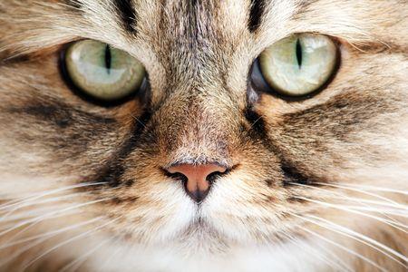 Close-up portrait of Siberian cat photo