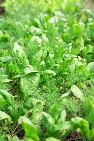 spinach photo