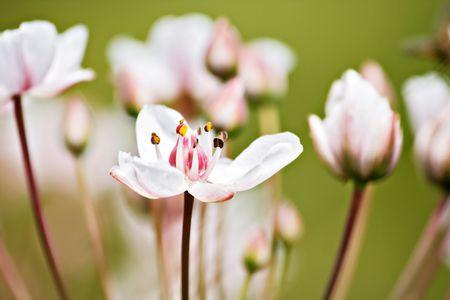 Lotus flowers Stock Photo - 5375865