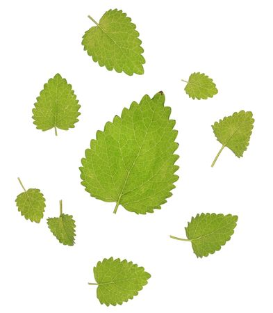mint leaves on the white Stock Photo - 5699356