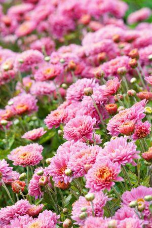 chrysanthemum flowers Stock Photo - 5967339
