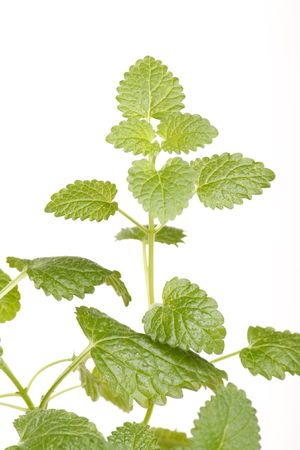 mint leaves photo