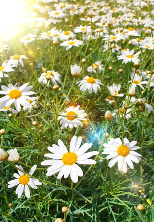 Field of daisy   photo