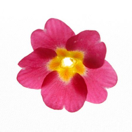 Pierwiosnek kwiat  Zdjęcie Seryjne - 6173446