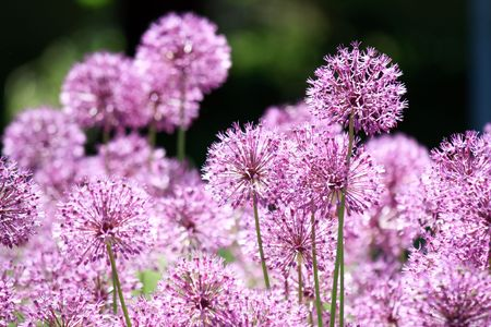 Close up of the flowers of some Chives Stock Photo - 6418079