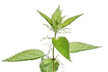 nettle plant photo
