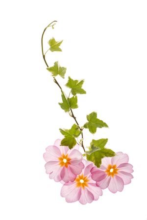 primula flowers with green leaves photo