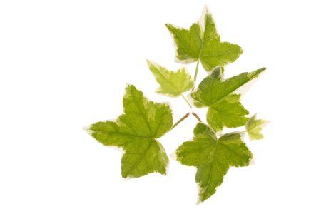 convolvulus: Green ivy  Stock Photo