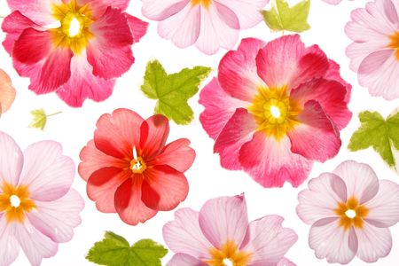 primula: primula flowers with green leaves Stock Photo