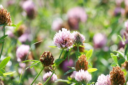 purple clover flowers in green grass photo