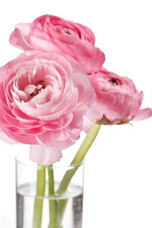 pink Ranunculus Stock Photo - 6868539