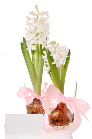 Hyacinth bulb and flower in a glass  photo
