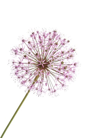 Close up of the flowers of some Chives Stock Photo - 7147521