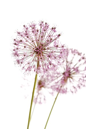 globular: Close up of the flowers of some Chives  Stock Photo
