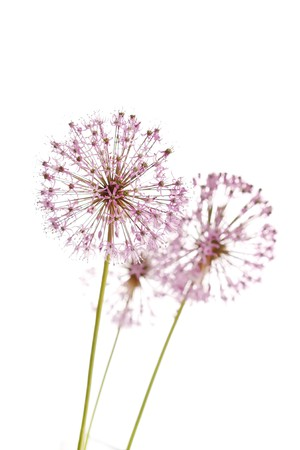 Close up of the flowers of some Chives  photo