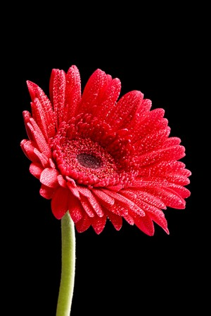 daises: red gerber Stock Photo