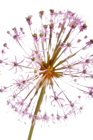Close up of the flowers of some Chives Stock Photo - 7487907