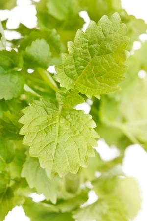 Mint leaves  photo