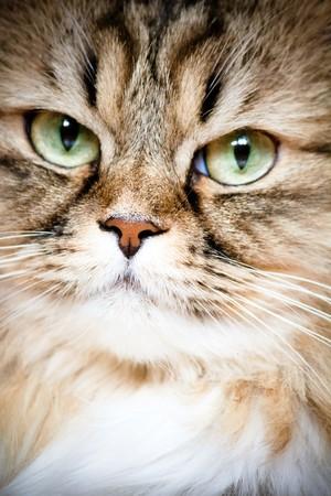 cat head: portrait of Siberian cat