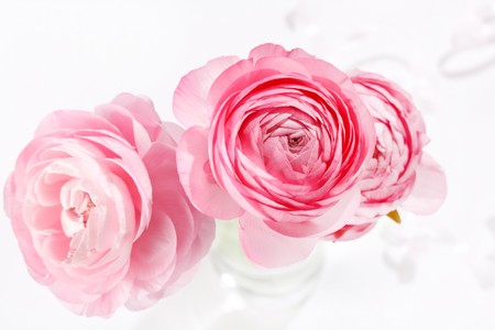 pink Ranunculus  photo