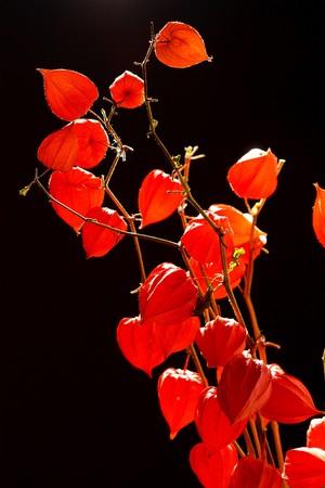 orange flowers of Physalis  photo
