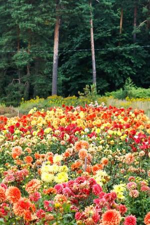 Closeup of colorful dahlias  photo