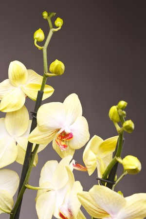 phal: yellow orchid Stock Photo