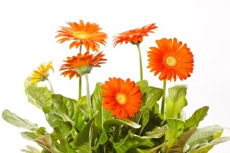 gerbera daisy: orange gerbers Stock Photo