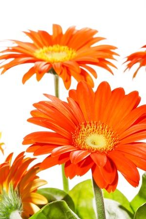 orange gerbers photo