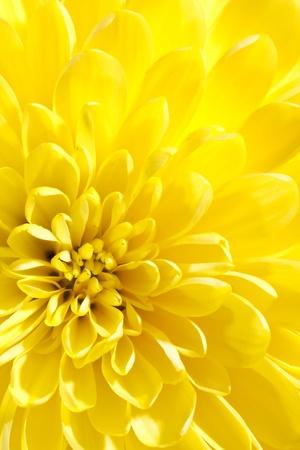 to yellow: beautiful chrysanthemum Stock Photo
