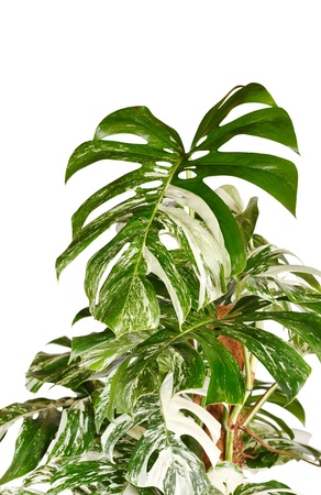 monstera plant in the flowerpot Stock Photo - 8459389