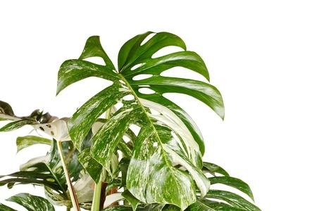 monstera plant in the flowerpot Stock Photo - 8459342