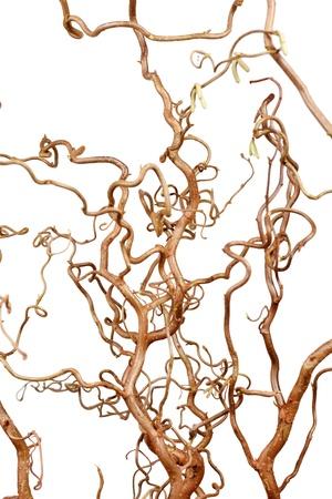 hazel branches: branches of hazel Stock Photo