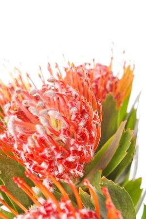 flores exoticas: flores ex�ticas