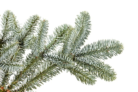 botanical branch: Fir tree branch on a white background.