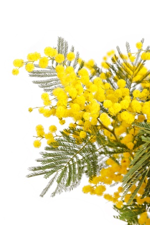 branch of a mimosa on a white background  photo